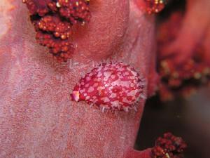 ウミウサギ貝の仲間
