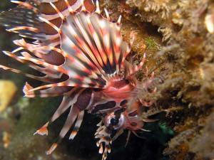 キリンミノカサゴの幼魚
