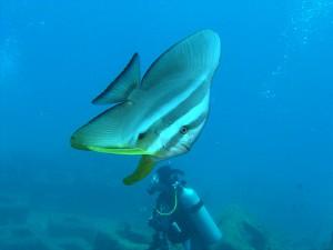 瀬底島魚礁のツバメウオ