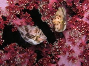 アオサハギ幼魚のペア