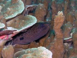 ドクウツボ幼魚(チビ)
