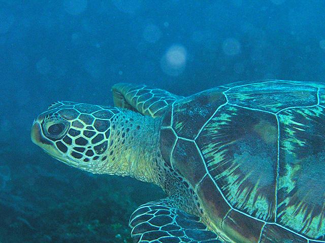 アオウミガメの画像 p1_26